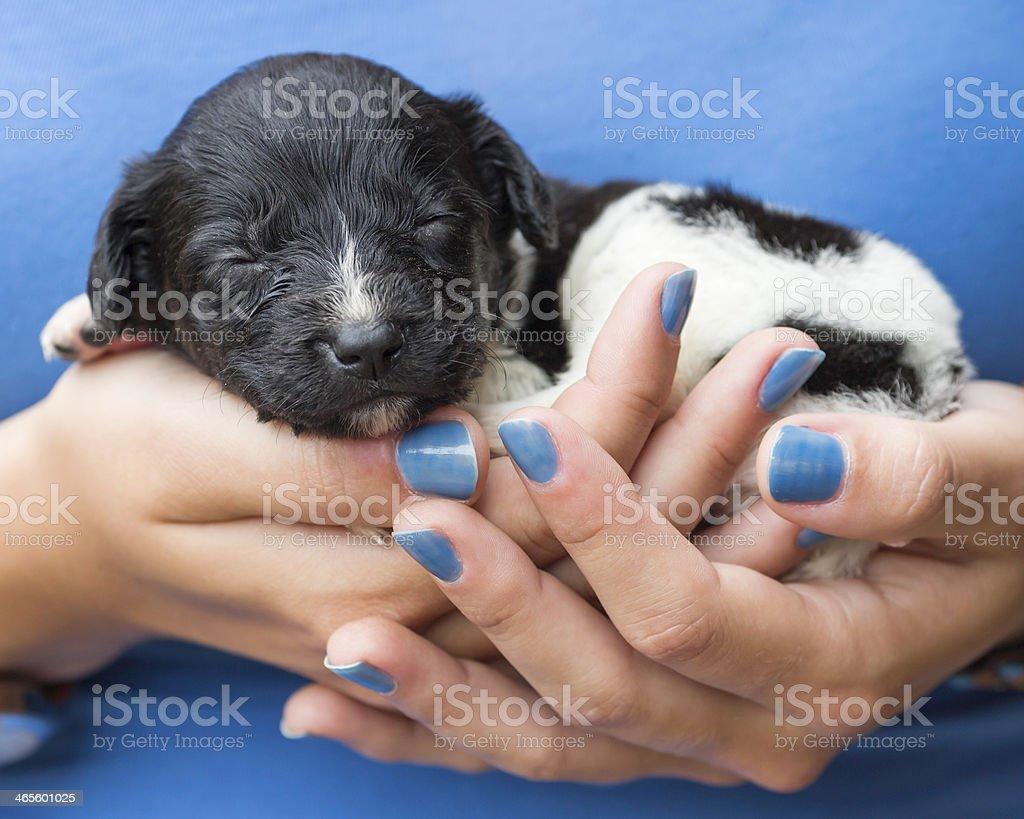 Cute Dutch Frisian Stabyhoun Puppy Sleeping On Girls Hands Stock ...