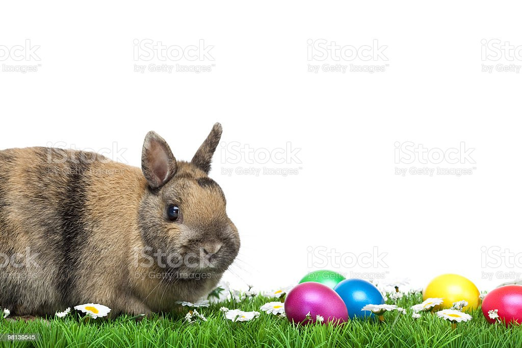 Cute Easter bunny sitting in meadow with eggs and marguerite royalty-free stock photo