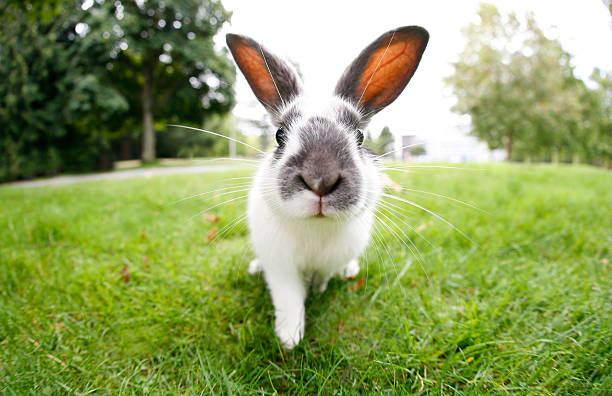 cute easter bunny with big ears outdoors - rabbit stock photos and pictures