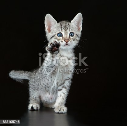 Silver Egyptian Mau Little Kitten (Felis catus). Naturally spotted breed of domesticated cat.