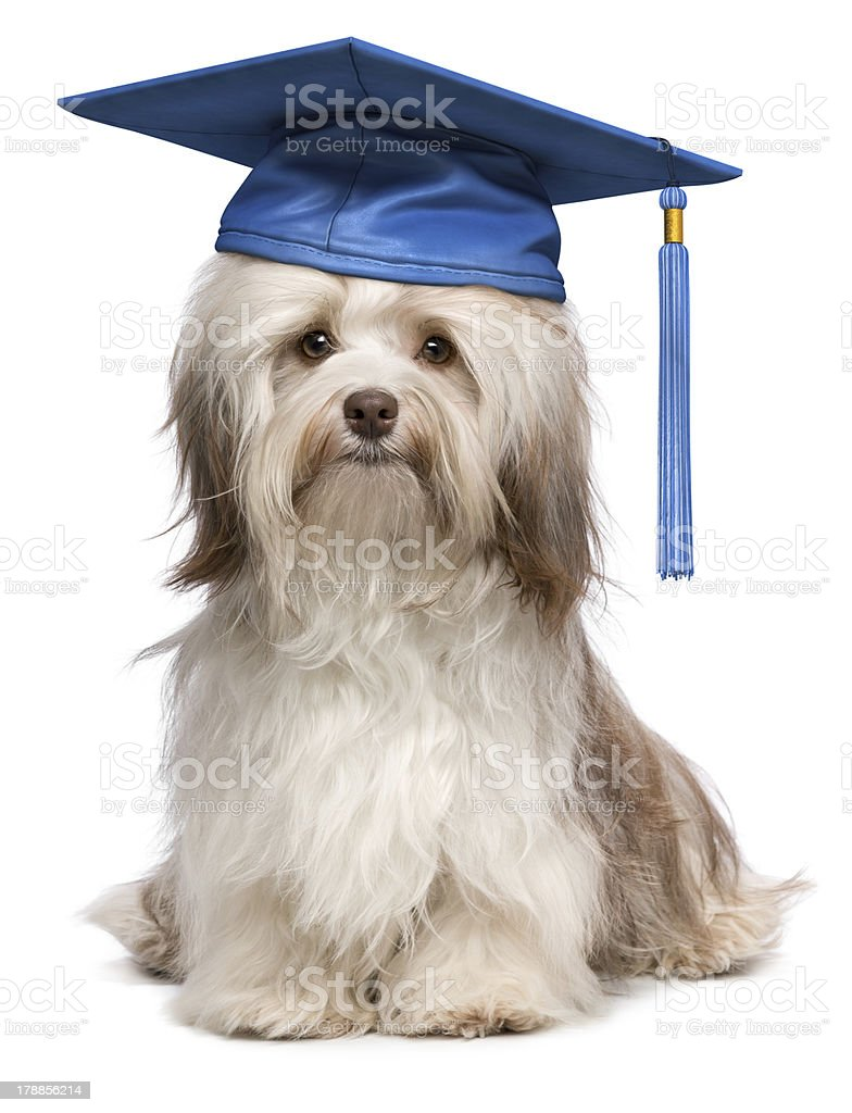 Cute eminent graduation havanese dog wit blue cap royalty-free stock photo