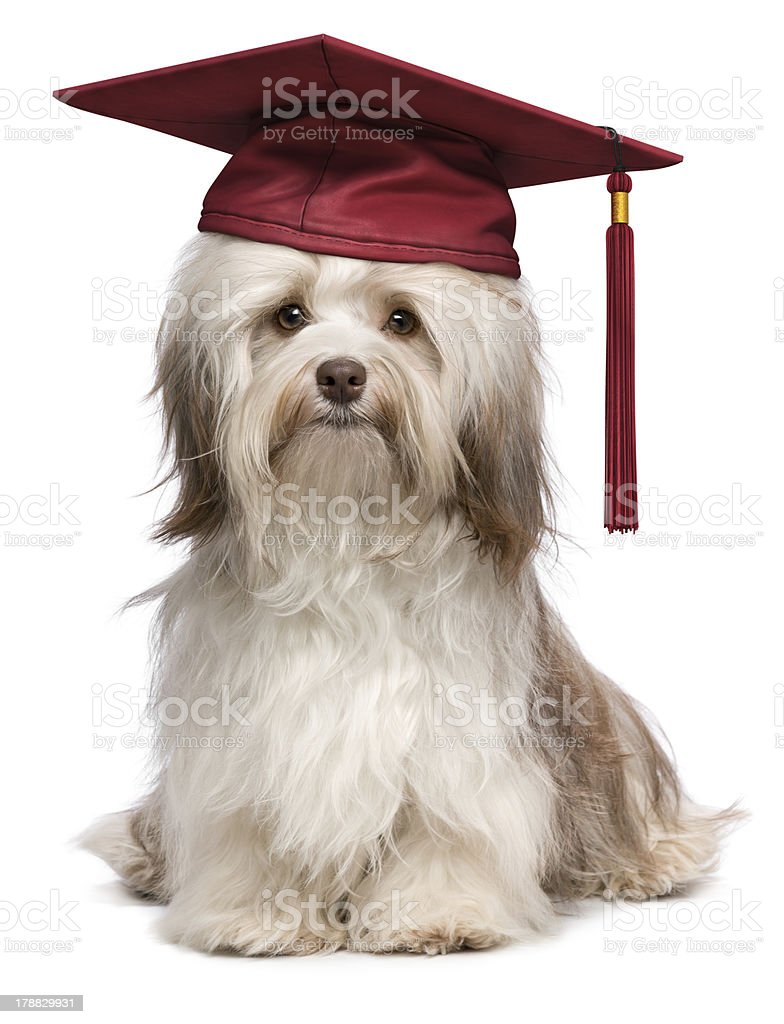 Cute eminent graduation havanese dog wit red cap royalty-free stock photo