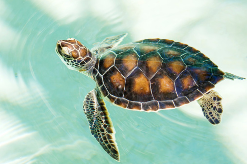 Cute endangered baby turtle stock photo download image now istock - Cute turtle pics ...
