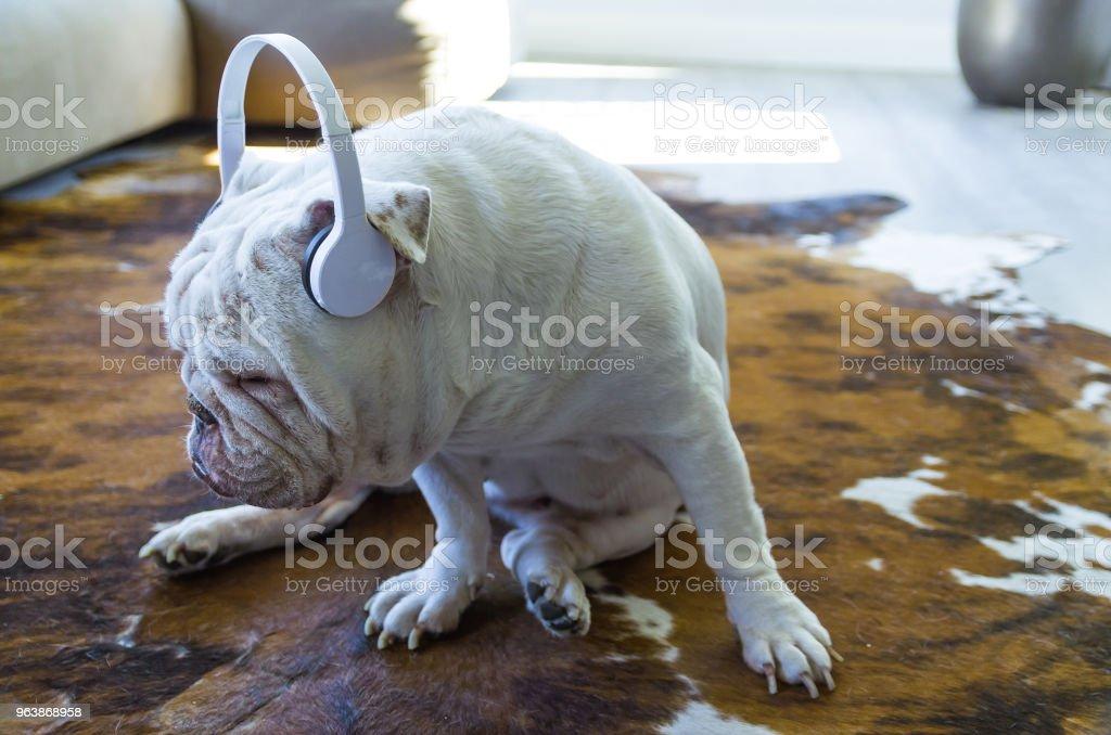 Cute English bulldog listening to music - Royalty-free Animal Stock Photo