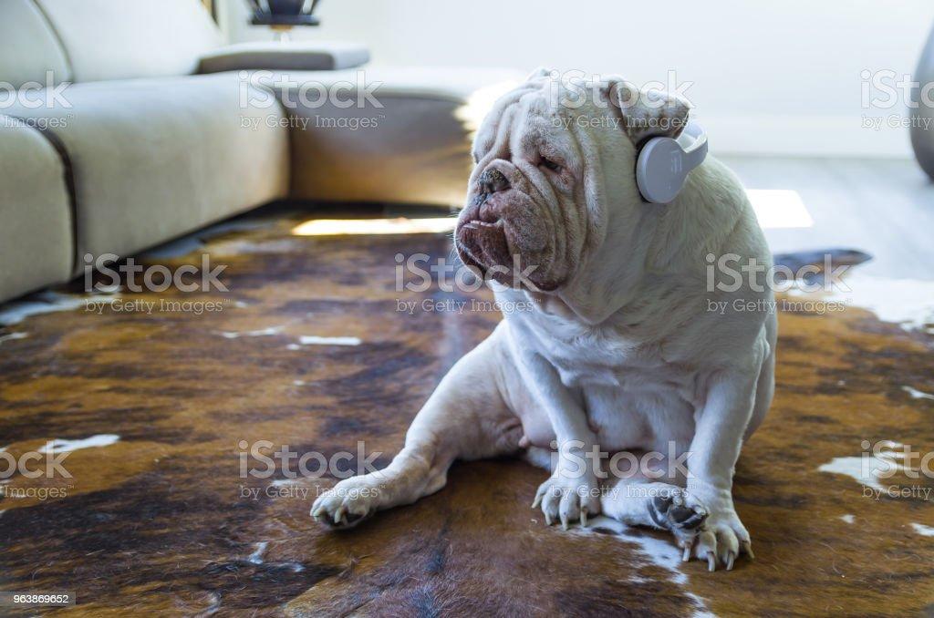 Cute English bulldog listening to music stock photo