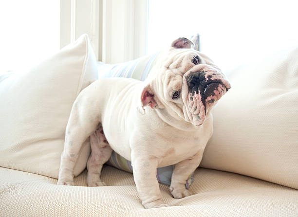 A cute English bulldog on a couch Portrait of English Bulldog on white sofa looking quizzically into camera. bulldog stock pictures, royalty-free photos & images