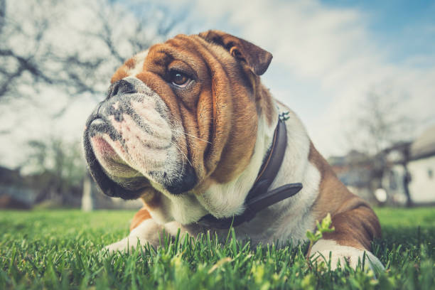 Cute English bulldog stock photo