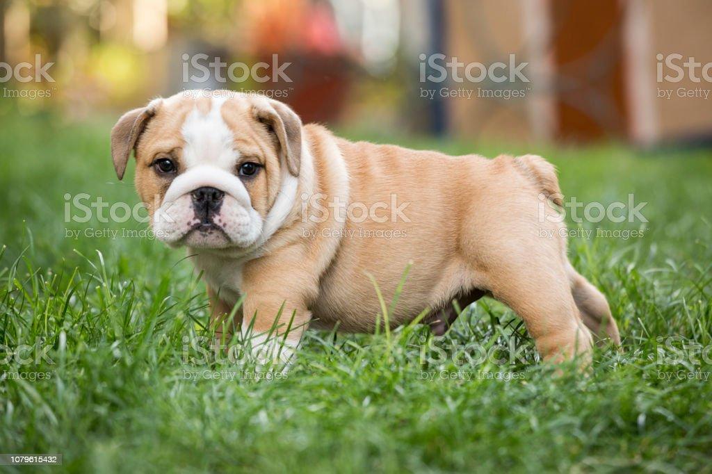 Cute English Bulldog Puppies Stock Photo Download Image Now Istock