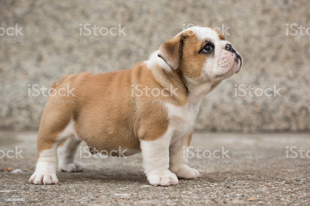 Cute English Bulldog Puppies Stock Photo Download Image Now Istock