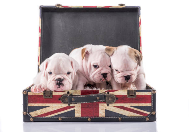Cute English bulldog puppies stock photo