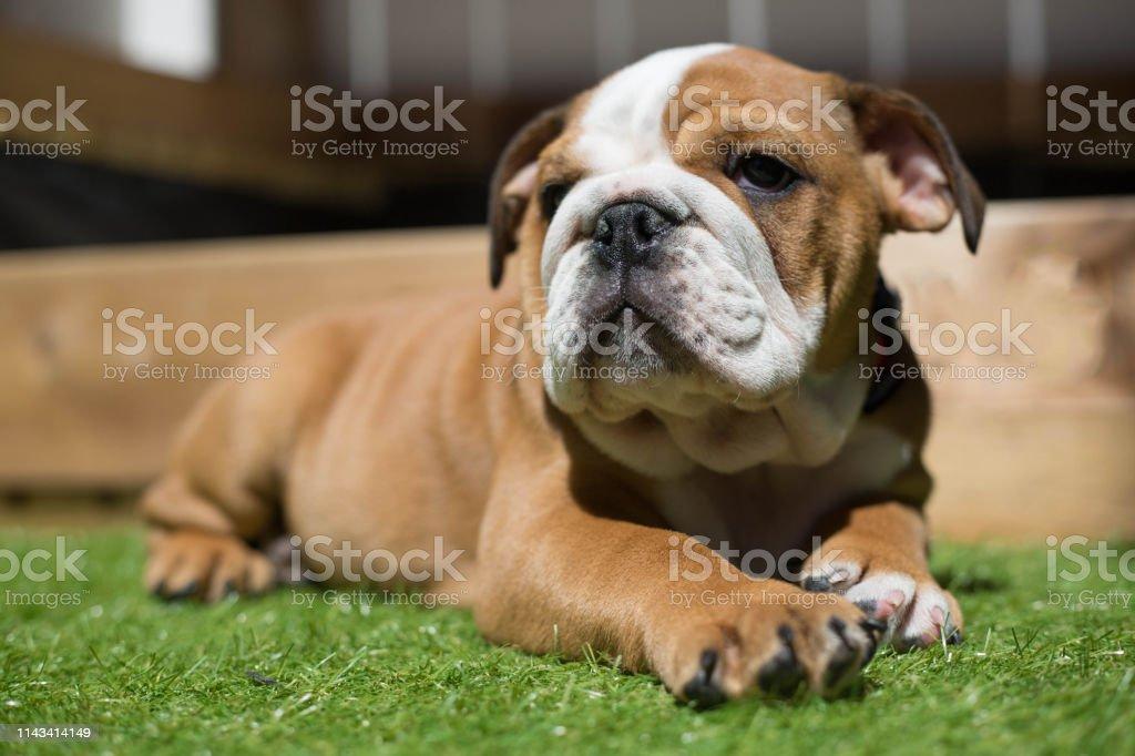 Cute English Bulldog Puppy Stock Photo Download Image Now Istock