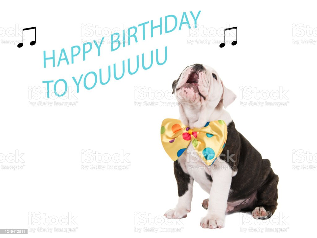 Cute english bulldog puppy sitting and singing happy birthday to you isolated on a white background Cute english bulldog puppy sitting and singing happy birthday to you isolated on a white background Animal Stock Photo