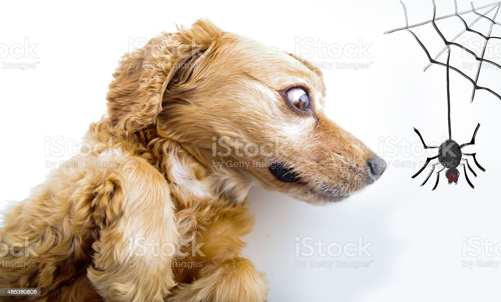 Cute English Cocker Spaniel Puppy Looking Scared In Front Of Stock Photo Download Image Now Istock
