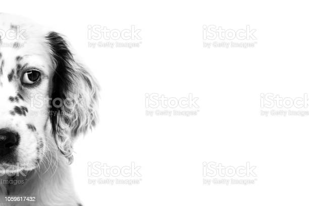 Cute english setter baby dog on white background picture id1059617432?b=1&k=6&m=1059617432&s=612x612&h=cm6svhemr7j4bsgkm8qzzywquba p0knjlyr3ggoqs4=
