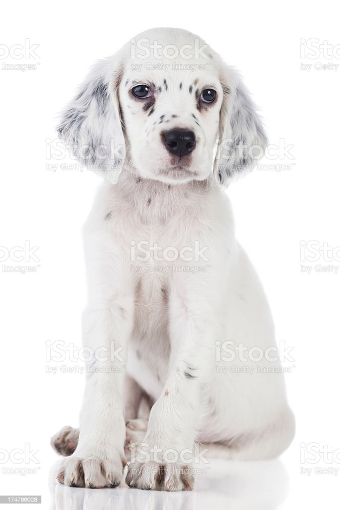 Cute English setter baby girl royalty-free stock photo