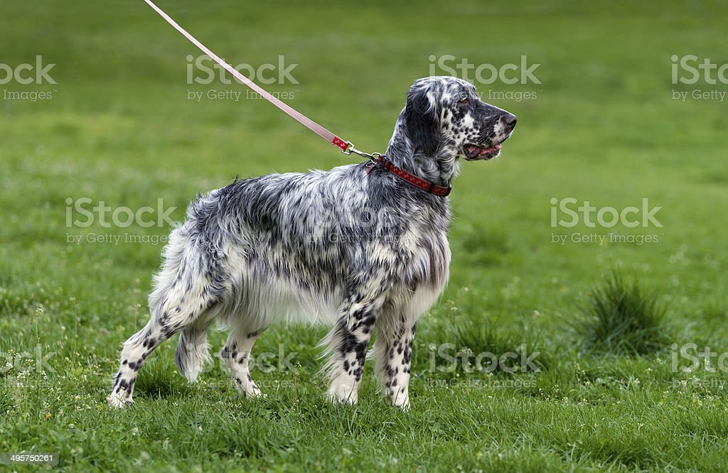 Cute English Setter dog in a spring flowering meadow royalty-free stock photo