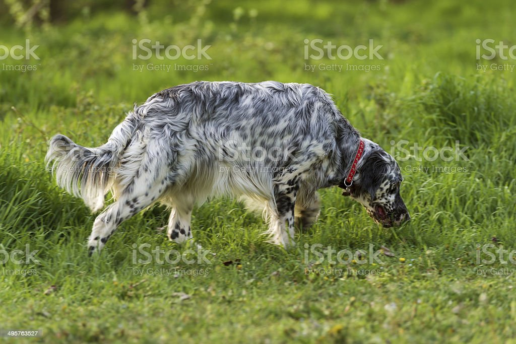 Cute English Setter dog is sniffing on a meadow royalty-free stock photo