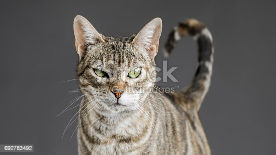 Close up portrait of cute little european cat against gray background. Puppy of stray cat looking at camera with suspicious expression. Sharp focus on eyes. Horizontal studio portrait.