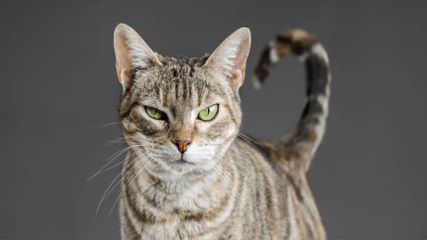 Cute european cat portrait picture id692783492?b=1&k=6&m=692783492&s=612x612&w=0&h=q olcbmhab4yh7ly3vzhlzjq lzjjauwsdj7hoqjxos=