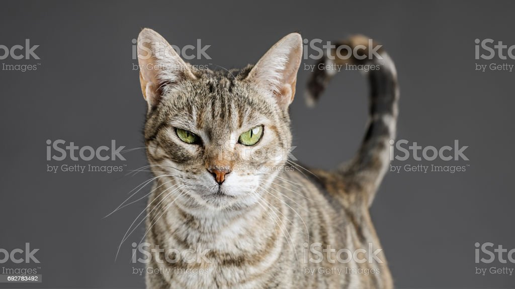 Retrato lindo gato europeo - foto de stock