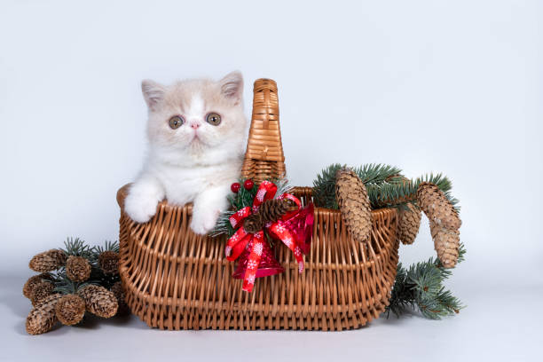 Cute exotic shorthair kitten in a basket with fir branches cones and picture id1190207710?b=1&k=6&m=1190207710&s=612x612&w=0&h=em8jdkbcz9wiro9rpwd7d2 domtn3z0vr3ia ynzcae=