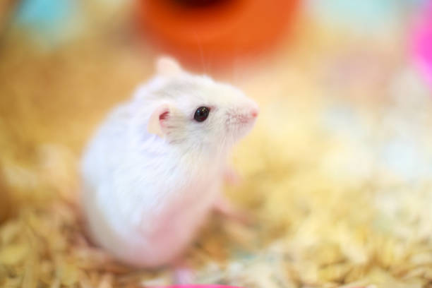 Cute exotic winter white dwarf hamster standing two legs begging for picture id1067328050?b=1&k=6&m=1067328050&s=612x612&w=0&h=pn4phjw4avdnoohy5b8w6zewfq6umducmmoomvpckhu=
