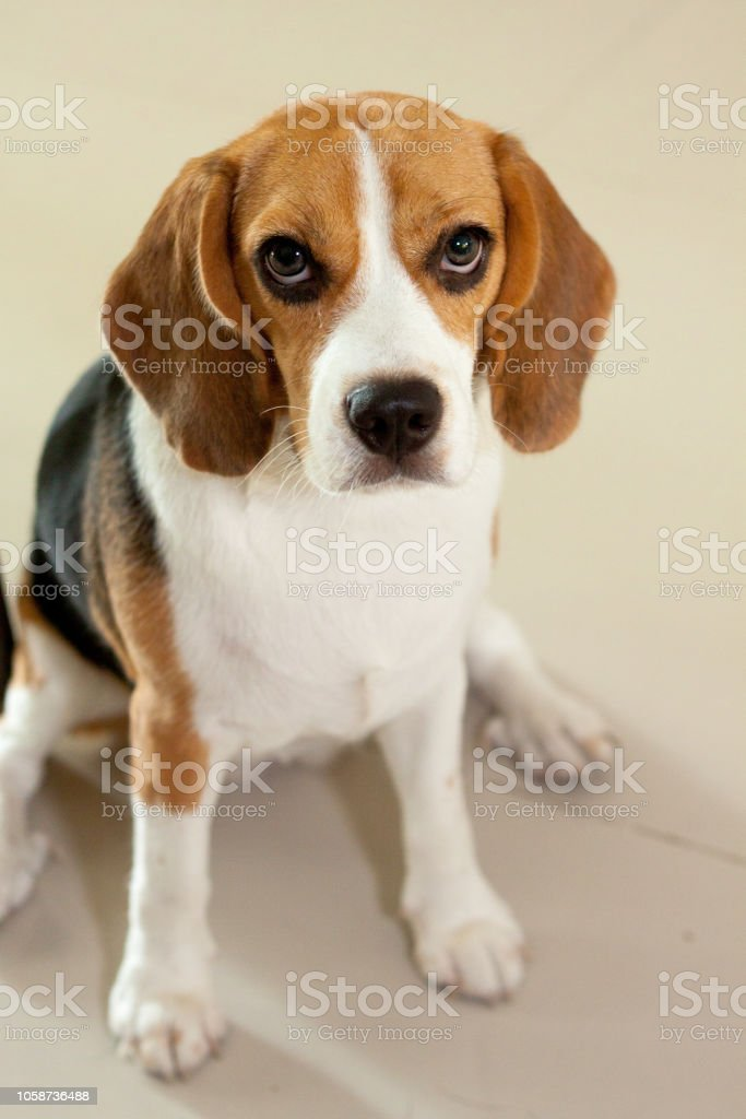 A Cute Eyeliner Beagle Puppy Stock Photo Download Image Now Istock
