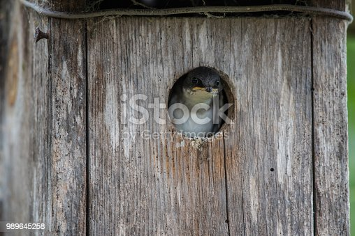 Small adorable face of a finch bird peeking out of the doorway of wooden birdhouse.
