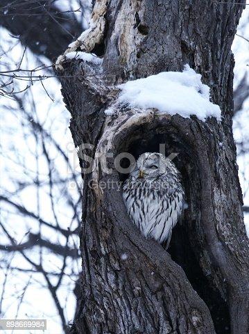 istock Cute Ezo Owl 898669984