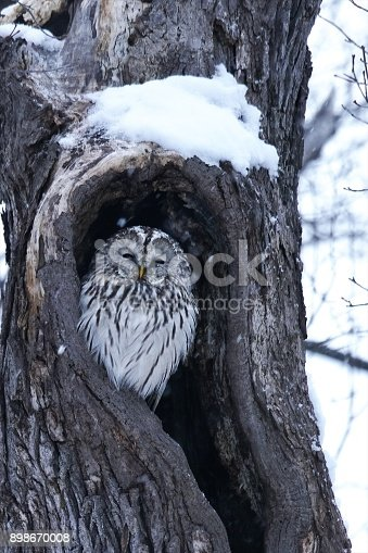 istock Cute Ezo Owl 898670008