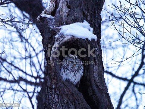 istock Cute Ezo Owl 898670082