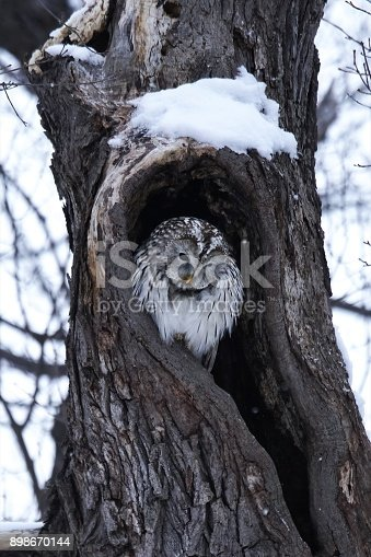 istock Cute Ezo Owl 898670144