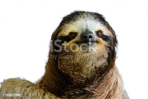Cute face of a three-toed sloth (Bradypus variegatus)