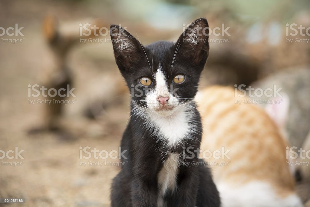 Cute face of black and white kitten. stock photo