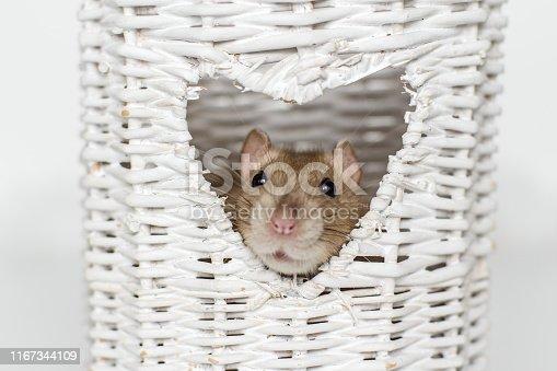 istock Cute fancy rat in heart shaped vase window 1167344109