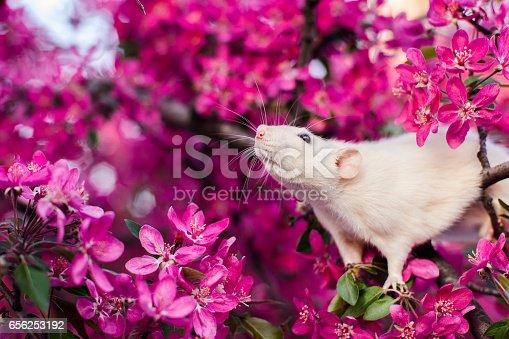 istock Cute fancy rat sitting in rose apple blossom 656253192