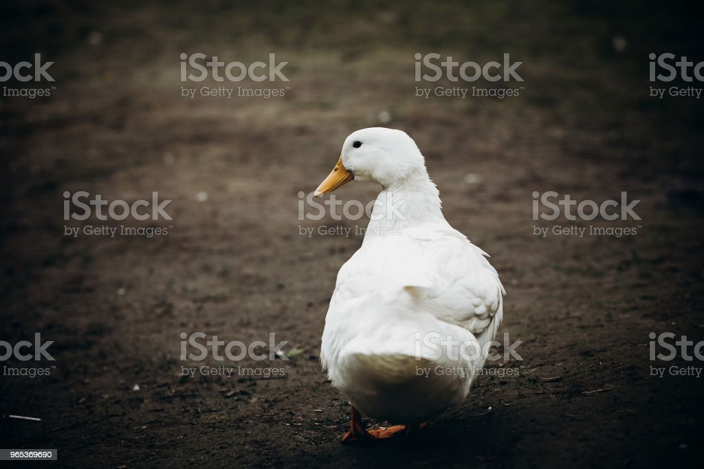 Cute farm duck walking in the yard close-up, white duck bird standing outdoors, wildlife park concept royalty-free stock photo