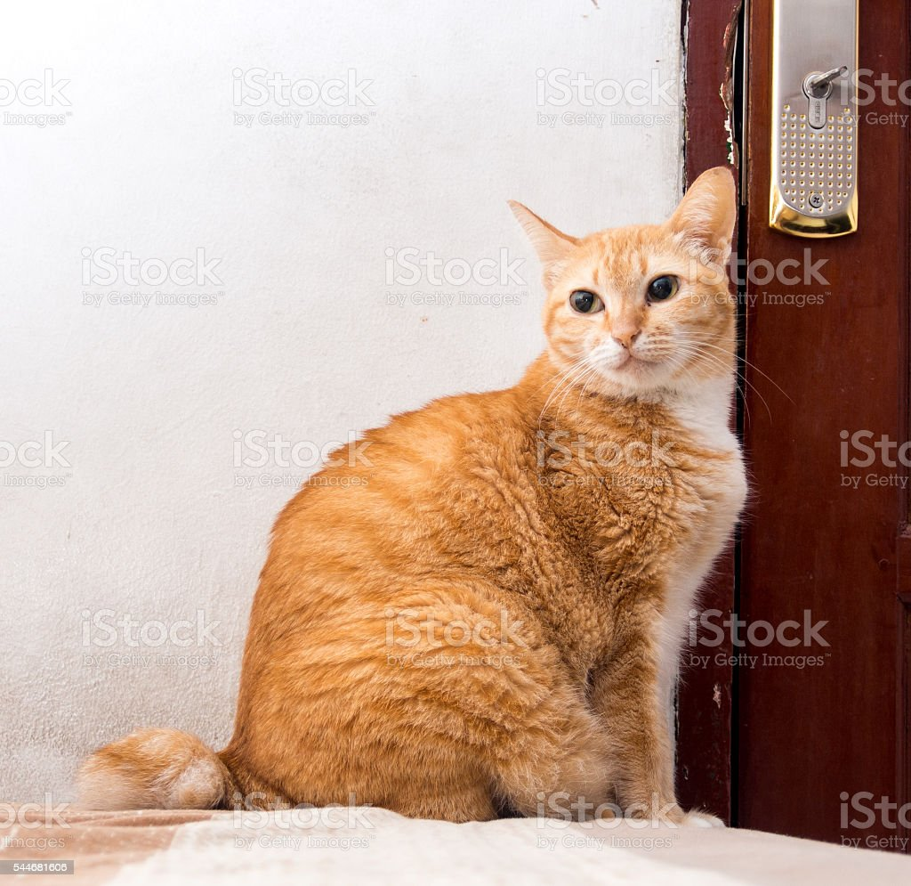 Cute Fat Orange Ginger Cat Waiting for The Door - foto de acervo