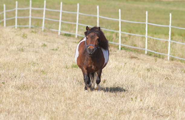 cute fat pony little fat shetland pony on a dry pasture, walking, looking into camera pony stock pictures, royalty-free photos & images