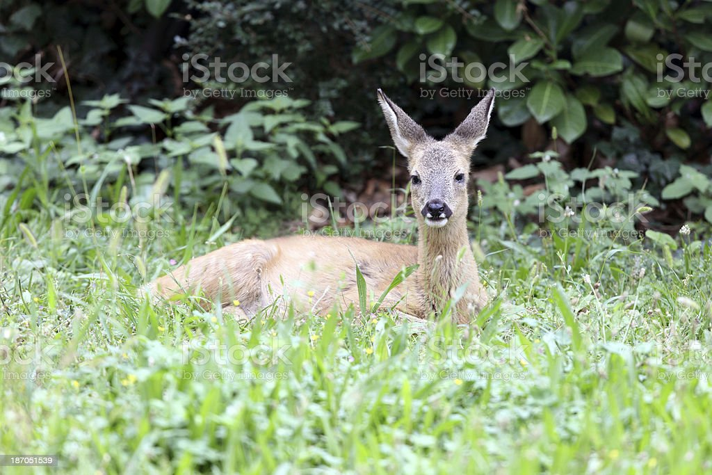 Cute fawn lying in the grass royalty-free stock photo
