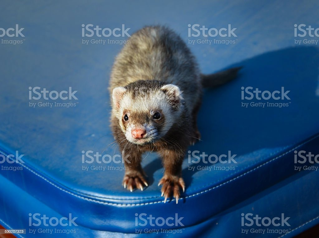 Cute ferret sitting on a suitcase stock photo