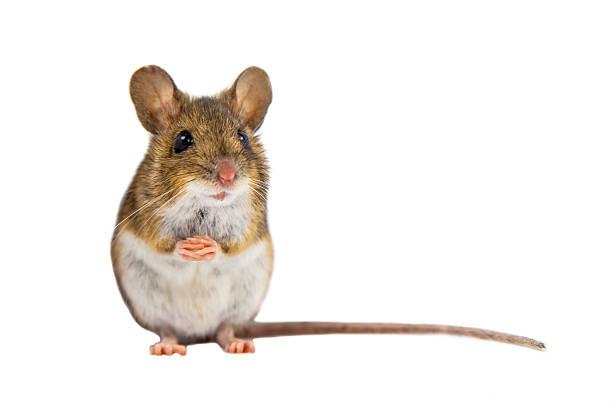 cute field mouse on white background - maus stock-fotos und bilder