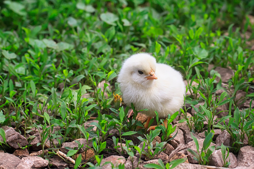 Cute Fluffy Chicken Walking On Green Grass Stock Photo - Download Image Now  - iStock
