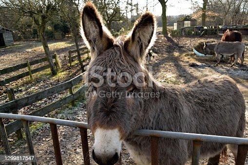istock A cute, fluffy donkey in the farmyard paddock near to Oss, Netherlands 1299817547