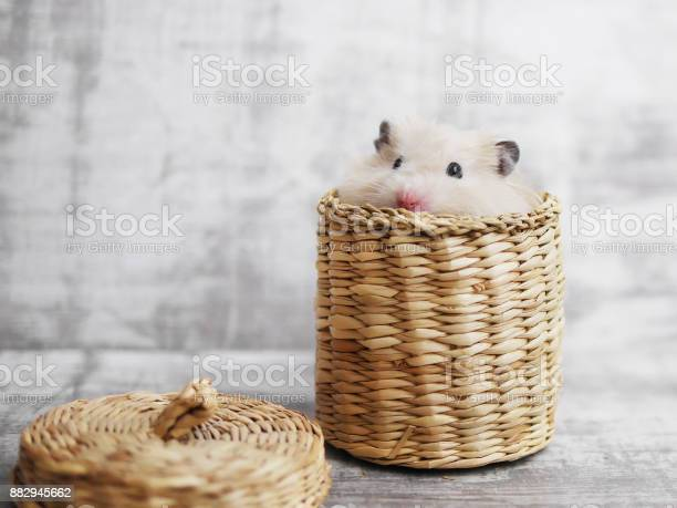 Cute fluffy hamster looks out of a wicker basket gray bleached funny picture id882945662?b=1&k=6&m=882945662&s=612x612&h=46lk7 tkb3yvwatet gdoxdiibsn3oncezntz8onsyc=