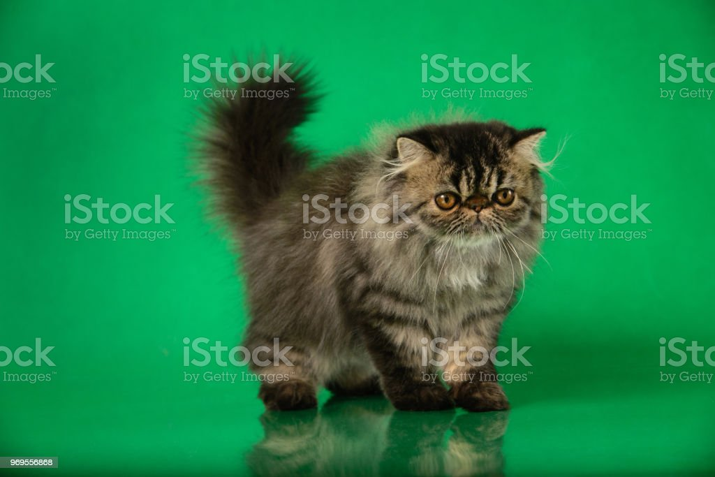 Cute Fluffy Persian Black Grey Tabby Cat On Green Studio Background Royalty Free Stock Photo