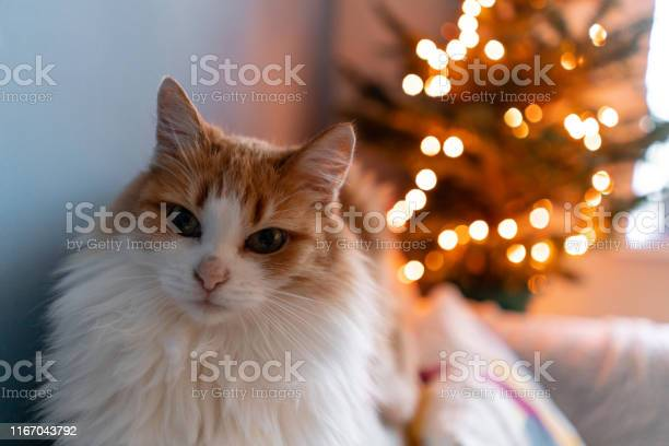 Cute fluffy red and white cat on christmas tree background decorating picture id1167043792?b=1&k=6&m=1167043792&s=612x612&h=h13m4b1ophurl7pdu66b4vdtgknmmaaktojr3kwtzsa=