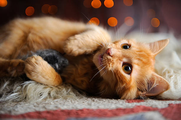 Cute fluffy red kitten playing with toy mouse picture id520738356?b=1&k=6&m=520738356&s=612x612&w=0&h=a qf5pjra3bjkgsvhjhaobk1tt19oxt1zdpeh5pe6 k=