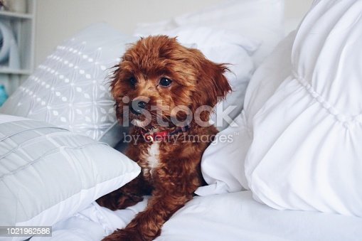 istock Cute fluffy red puppy 1021962586