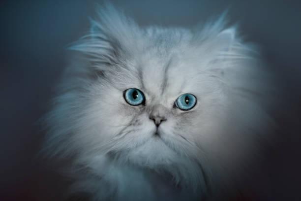 Cute fluffy white cat picture id641177834?b=1&k=6&m=641177834&s=612x612&w=0&h=4suuhn6rz anmxeeihmelual0vndlstjosvvhocecpy=